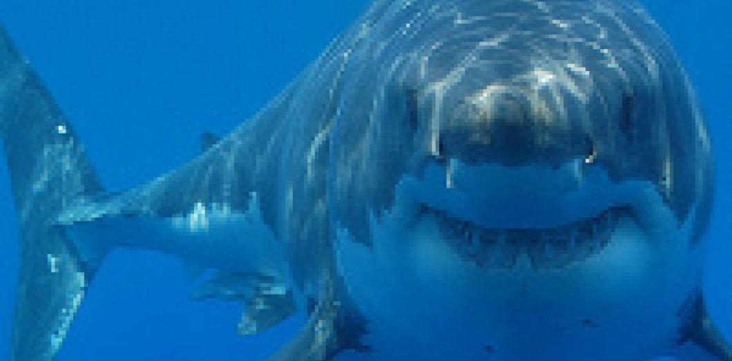 Le Grand Requin Blanc Mange Beaucoup Plus Que Ce Que L On Pensait