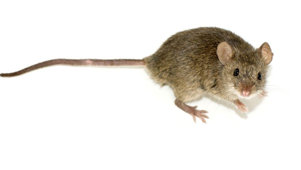 J Ai Une Souris Chez Moi la souris de laboratoire, monoculture de la recherche